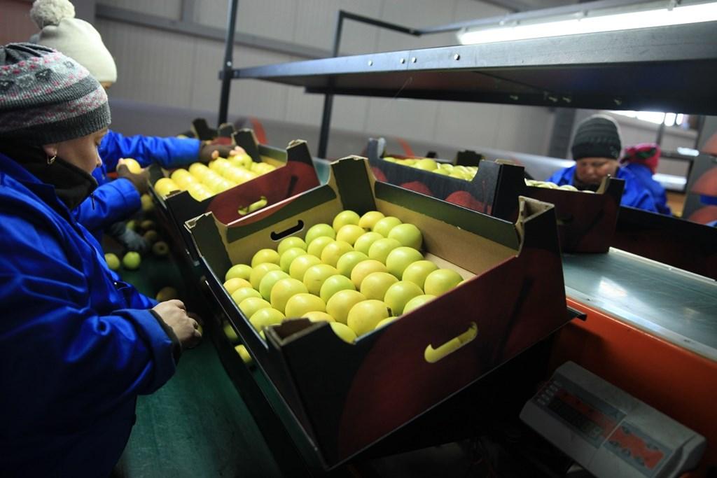 Linie de sortare mere